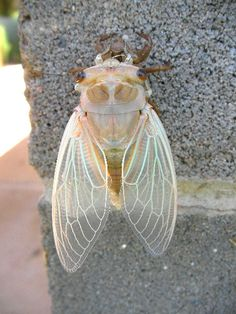 cicadas denote 'elevated' poetry, immortality or life after death, and loyalty to one's principles