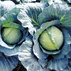 Early Thunder F1  Cabbage