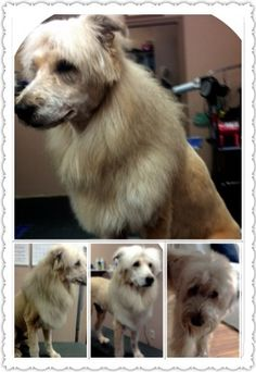 8 best lion cut for dogs images on pinterest dog haircuts pet whoodle dog chewy with a lion cut solutioingenieria Images