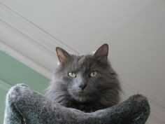 Nebelung means mist in German. The photo is from FreeKibble.com