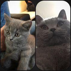 Hehehe  1 an aujourd'hui mon gros #happybirthday #britishshorthair #catsofinstagram #instacat #lovemycat #merlin