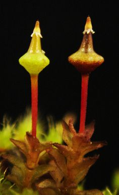 Taylorium gunnii