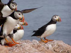 Puffins... How can people eat these things? They are SO CUTE!