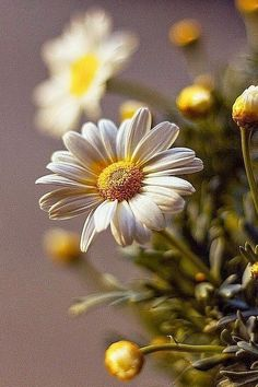Shasta daisy is a commonly grown flowering herbaceous perennial plant with the classic daisy appearance of white petals (ray florets) a. Happy Flowers, My Flower, Pretty Flowers, White Flowers, Pink Roses, Sunflowers And Daisies, Daisy Love, Daisy Daisy, Daisy Chain