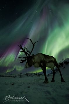 Auroras And Reindeers  - Taken by Ole Salomonsen on February 20, 2014 @ - As expected from the spaceweather forecast, the sky exploded tonight over northern Norway.