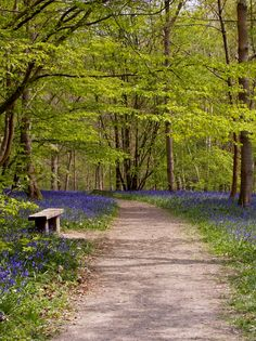 English bluebell wood in Rolvenden, Kent, England. The perfume from the bluebells isexquisite. By B Lowe