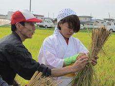 【稲刈り】刈り取った稲の束ね方を教わっています。  harvest, rice fields.