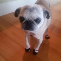 "28 Likes, 4 Comments - Buddy Luv & Roxy (@buddyluvsroxy) on Instagram: ""My mom got me a pair of shoes..non slip socks. Shes helping me handle my old age and her hardwood…"""