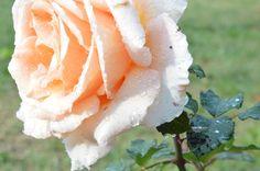 Tumblr:rose