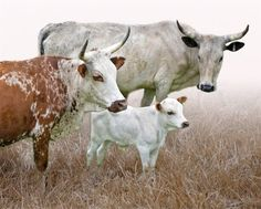 Cow Photos, Cow Pictures, Animal Pictures, Animal Art Prints, Animal Paintings, Animal Drawings, Cows Mooing, Cow Illustration, Longhorn Cattle