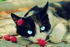 black and white cats with blue eyes - Google Search
