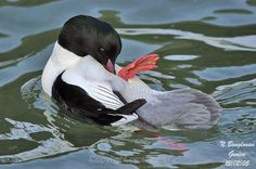 Common Merganser male