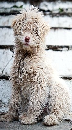 """Barbu Gaulois"" -- The Barbet is a very old French breed behind several known around the world today, including the Portuguese water dog, the Briard, the bichon, the Griffin and the poodle breeds"