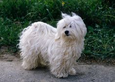 Havanese, one of the best dog for new dog owners.  Bright, lively, and enjoys playing games with you.  Craves company.  Requires grooming but doesn't shed as much as many breeds.