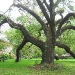 Tree in my backyard!!  (Southdown Museum Plantation House)