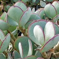 Crassula Arborescens - Silver Dollar Jade - Large rounded silver blue / grey leaves with red margins. Many branched shrub or small tree. Growing Succulents, Succulents In Containers, Cacti And Succulents, Planting Succulents, Crassula Succulent, Crassula Ovata, Agaves, Jade Plants, Garden Shrubs