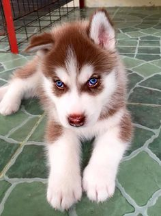Undeniable Reasons to Own a Siberian Husky Ideas. Irrefutable Reasons to Own a Siberian Husky Ideas. Baby Animals Super Cute, Cute Little Animals, Cute Funny Animals, Cute Husky Puppies, Super Cute Puppies, Huskies Puppies, Lab Puppies, Blue Eyed Husky Puppy, Brown Husky Puppy