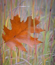 oak-leaf.jpg 700×829 pixels