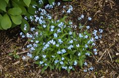 Forget-Me-Not is deer resistant. A couple varieties are native to Nevada County.