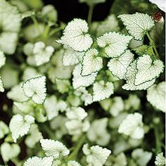Lamium maculatum 'White Nancy'    Silvery leaves edged in green make this low-growing perennial (to 8 inches tall) a choice ground--cover because it lights up shaded beds. White flowers appear in spring and summer.