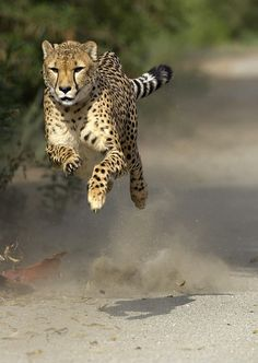 #Wildlife #Cheetah