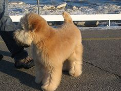 Wheaten Terrier Puppy, First Haircut, Diy Dog Treats, 5 Month Olds, Doge, Hair Cuts, Puppies, 5 Months, Pets