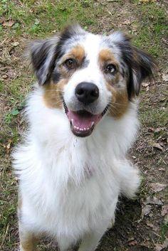 Mon chien berger australien