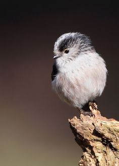 Long Tailed Tit by Karen Summers on 500px