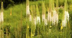 """Viele kennen die Steppenkerze auch unter der Bezeichnung """"Nadel der Kleopatra"""" oder """"Lilienschweif"""". Auf mannshohen Stielen ragen die Blütenrispen der Steppenkerze wie spitze Türme aus dem Staudenbeet, von Mai bis Juli mit rosaweißen oder gelben, duftenden Einzelblüten."""