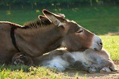 Mule and donkey snuggled together.