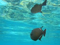 Μαύρο Triggerfish