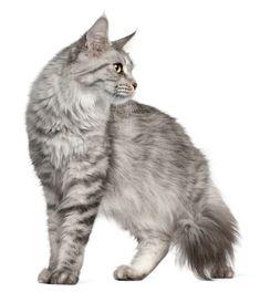 Kratzbaum für Maine Coon Katzen  Ein stabiler Kratzbaum für große Katzen ist besonders bei Maine Coon empfehlenswert Alle Maine Coon Katzen sind für die außerordentlich große Statur bekannt. Sie können aus diesem Grund auch unter den anderen großen Katzen auffallen. Damit sich diese Tiere mit ihrem Kratzbaum wohlfühlen, ist... Weiter auf https://www.kratzbaum-bestellen.de/kratzbaum-fuer-maine-coon-katzen/ - Infos & Empfehlungen für #katzen und #katzenbedarf
