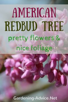 The American Redbud Tree is one of the most beautiful ornamental trees. The Forest Pansy Redbud and the Lavender Twist Weeping Redbud tree are a must have even in small gardens.