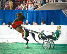 Twin Willow's McDreamy - World Grand Champion Road Pony! Oh My!