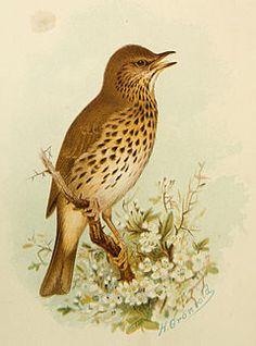 1910 British Warblers Print Male Reed Warbler ~ GrÖnvold Art