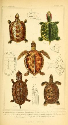 v.2 plates - The animal kingdom, arranged according to its organization, serving as a foundation for the natural history of animals : - Biodiversity Heritage Library