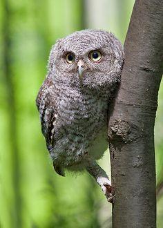 fine-feathers: Eastern Screech-Owl, fledgling by © Tim King on Flickr.