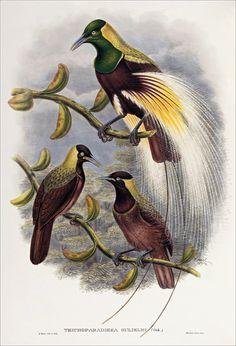 Richard Bowdler Sharpe_ Birds of paradise 38
