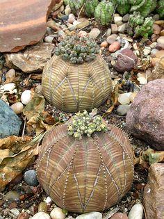 Female and male Euphorbia Obesa succulents of the Euphorbia genus