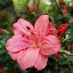 azalea bushes | Azalea Flowers Azaleas Plants