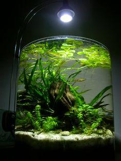2 gallon pico aquarium. Gorgeous aquascape. Plants: anubias nana petite, java fern, xmas moss. Lighting: MR16 fixture with a 5 watt 6000K LED lamp.