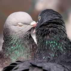 Love is in the air, even for pigeons! Chipp'd for Love can help you seal that love connection, just ask Percy!