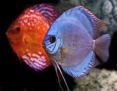 discus fish | Discus Fish Care & Breeding Information