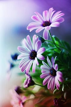 African Daisy - Osteospermum - Tender perennials(20-25degF+) that bloom in all but very hot seasons.