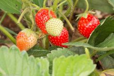 Soi de capsuni remontanti - recolta din iulie pana toamna tarziu Strawberry, Organic, Fruit, Desserts, Home, Plant, Tailgate Desserts, Deserts, Strawberry Fruit