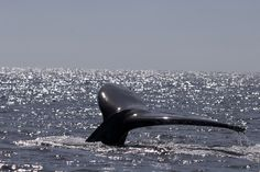 Whale Watching in #Cabo http://visitloscabos.travel/ #LosCabos