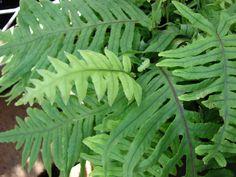 Polypodium formosanum Leaf Flowers, White Flowers, Tropical House Plants, Variegated Plants, Foliage Plants, Aquatic Plants, Palms, Botany, Ferns