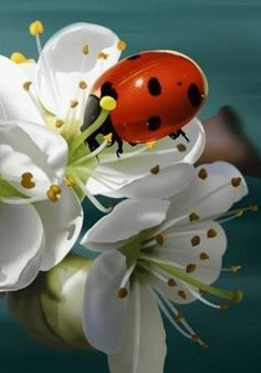 Lady bug and flowers. Beautiful Creatures, Animals Beautiful, Cute Animals, Beautiful Bugs, Beautiful Flowers, Bugs And Insects, Tier Fotos, All Gods Creatures, Belle Photo