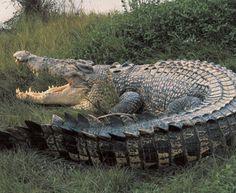 Nile #crocodile. #reptile