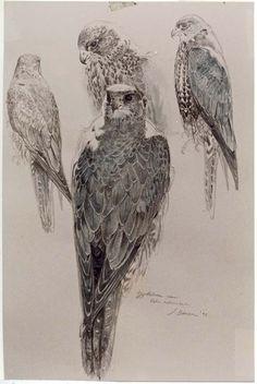 birds of prey sketch pic